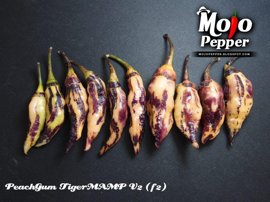 PeachGum TigerMAMP V2